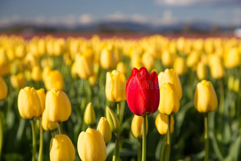 Tulipano rosso in un campo giallo fotografia stock
