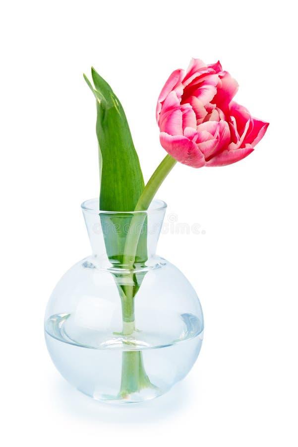 Tulipano rosso in un vaso di vetro isolato su bianco fotografia stock libera da diritti