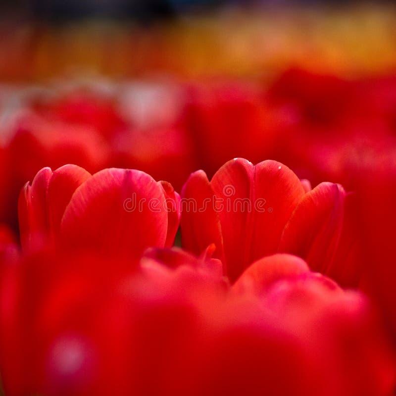 tulipano rosso vicino in su immagini stock libere da diritti
