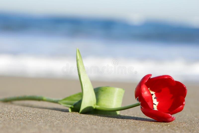 Tulipano sulla spiaggia fotografia stock
