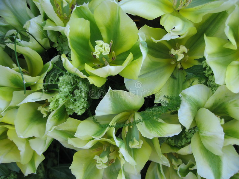 Tulipano verde fotografia stock