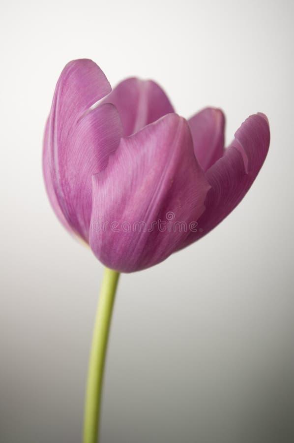Tulipano viola immagine stock