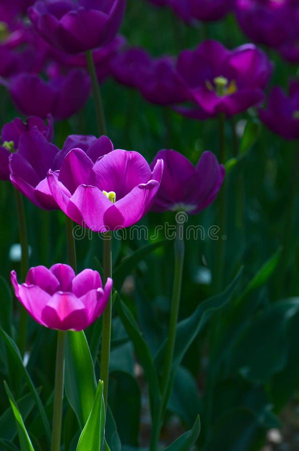 Tulipano viola fotografia stock libera da diritti