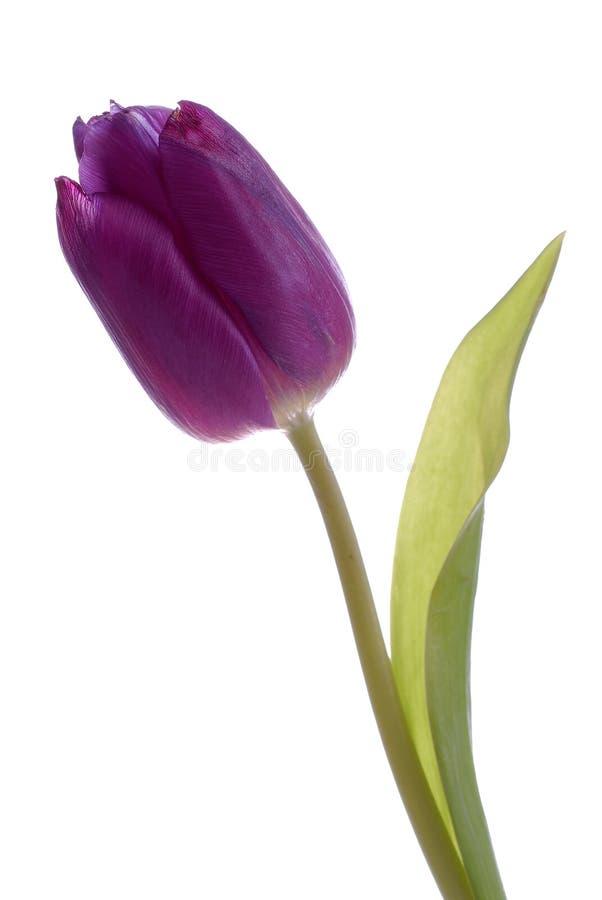 Tulipano viola su cenni storici bianchi fotografia stock