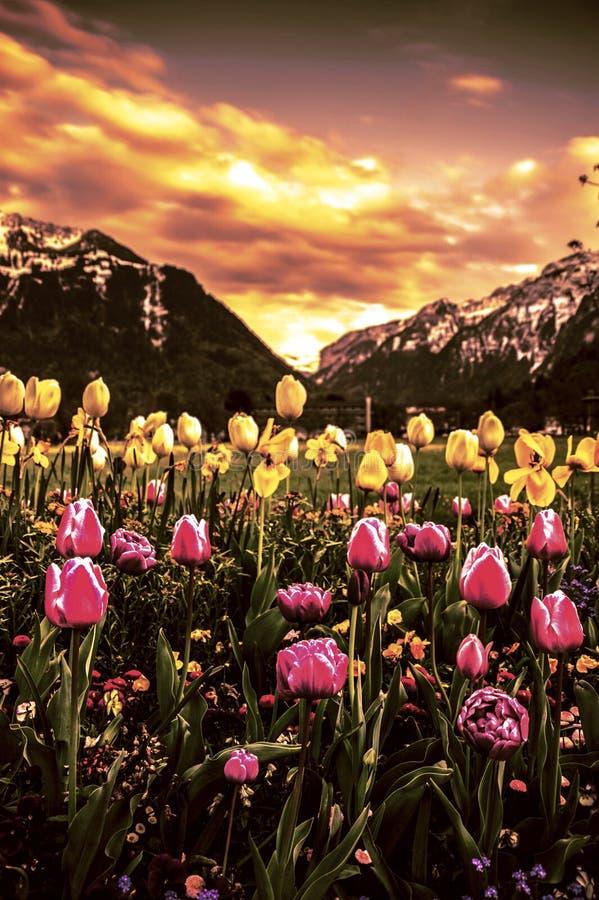 Tulipanowa dolina zdjęcie stock