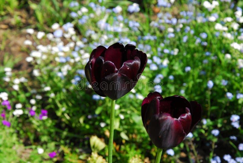 Tulipanowa noc, tulipa negr fotografia stock