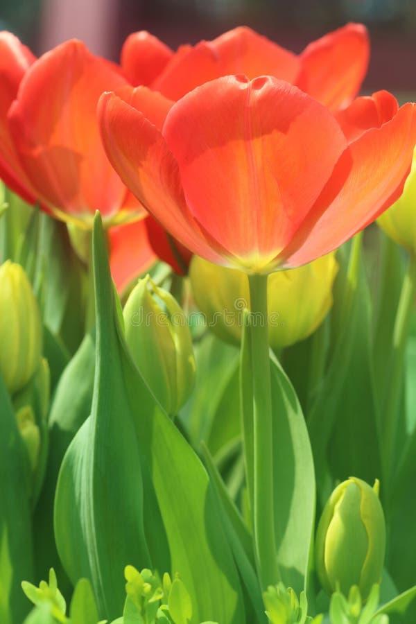 Tulipanowa Pomarańczowa panika zdjęcia royalty free
