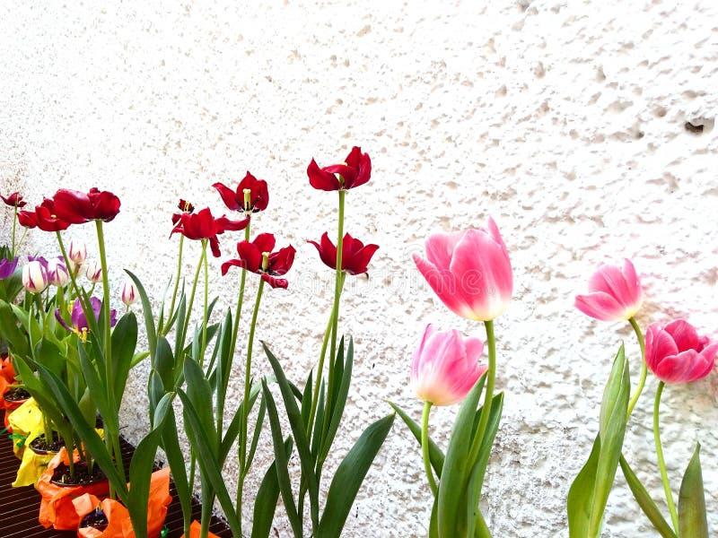 Tulipanowa różnorodność obrazy royalty free