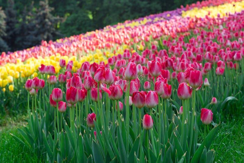 Tulipanowa rozmaitość zasadzająca w postaci wzorów obraz royalty free