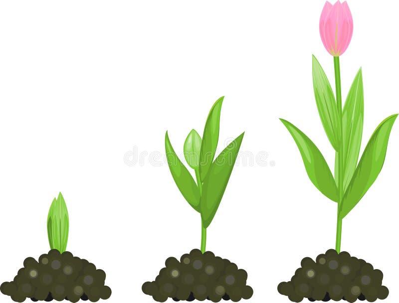 Tulipanowa Wzrostowa Scena Flancowanie I Narastające Tulipan żarówki  Ilustracja Wektor - Ilustracja złożonej z botanika, wektor: 94565578