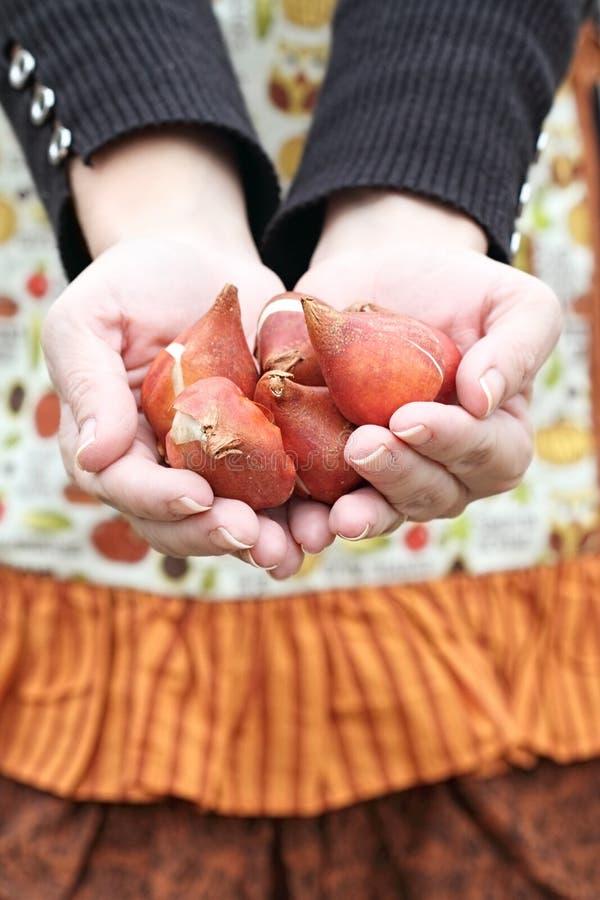 Tulipanowe żarówki zdjęcie royalty free