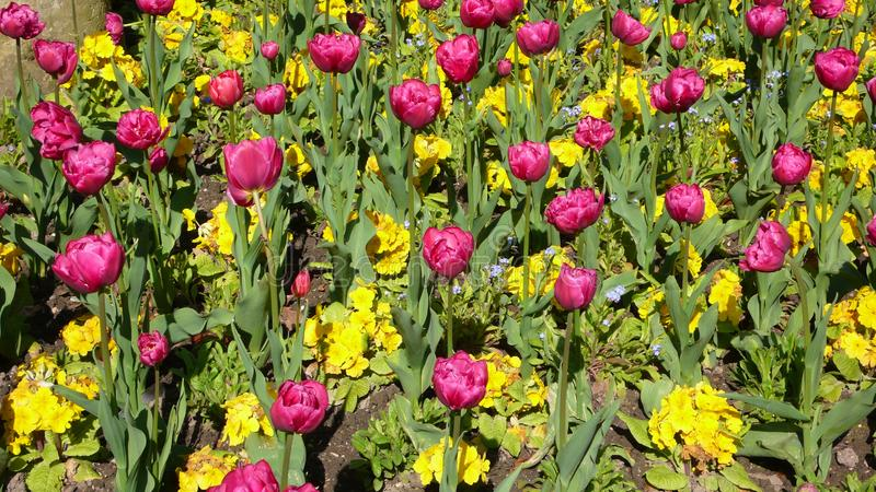 Tulipanowego łóżka Luksemburg ogródy obrazy royalty free