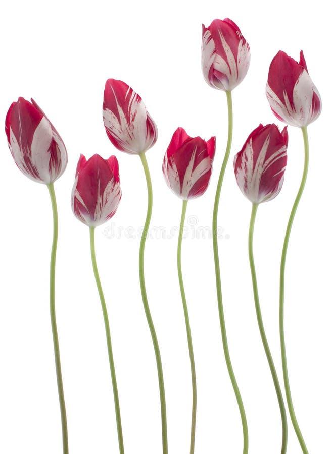 Tulipanowi kwiaty zdjęcie royalty free