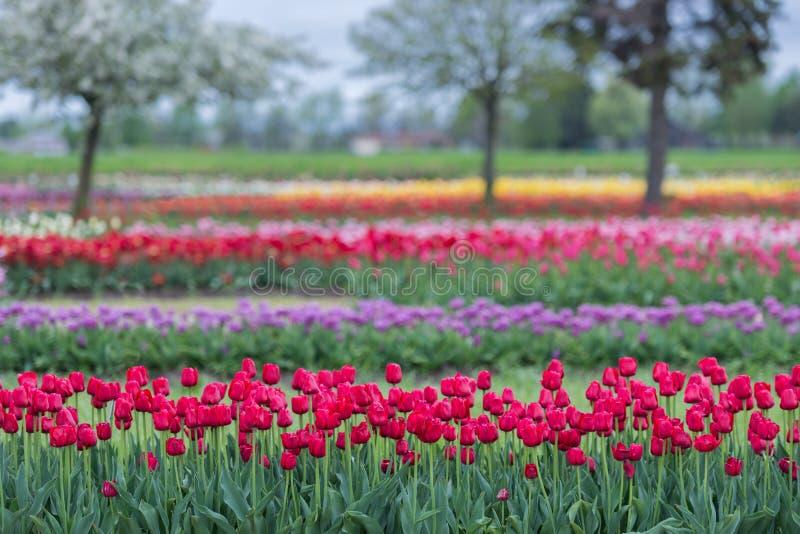Tulipanowi ogródy fotografia royalty free