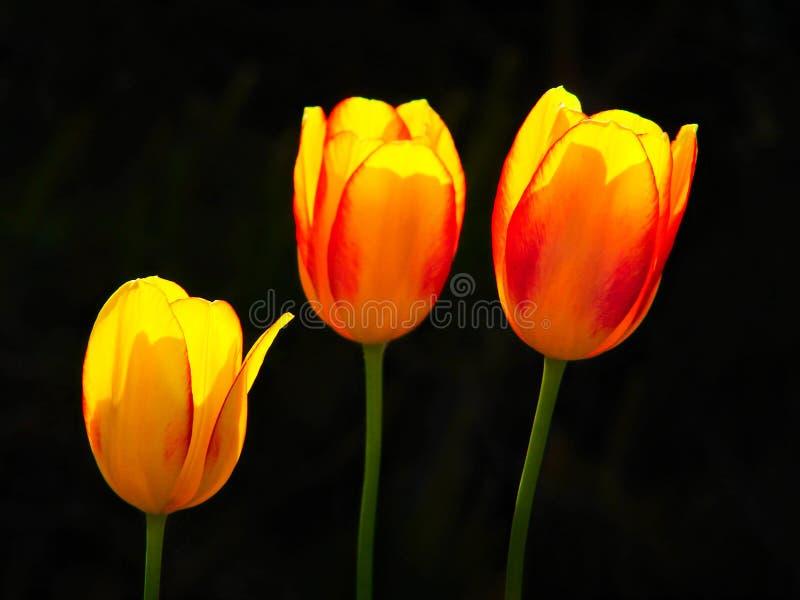 tulipanowi piękni kwiaty zdjęcia stock
