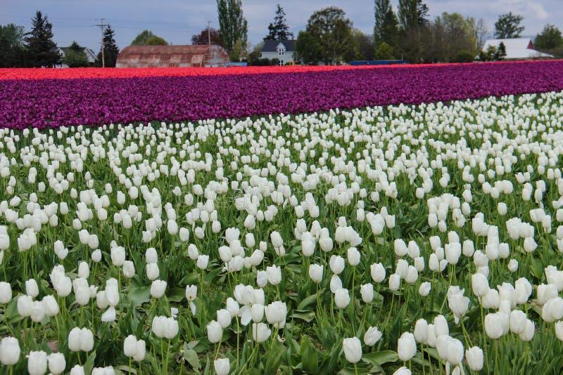 Tulipanowi pola fotografia royalty free