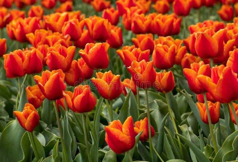 Tulipanowi pola Bollenstreek, Południowy Holandia, holandie zdjęcia stock