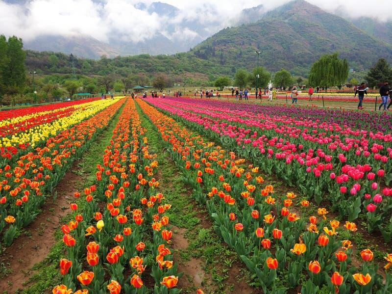 Tulipanowi rzędy w tulipanu ogródzie fotografia stock