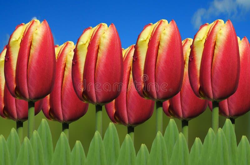 Tulipanowy Apeldoorn elita zdjęcia royalty free