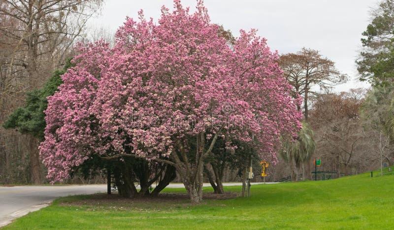Tulipanowy drzewo w pełnym kwiacie zdjęcie stock