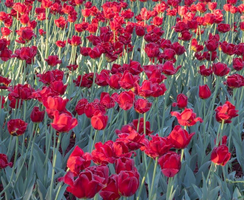 Tulipanowy dywan pięknie strzelał zdjęcie stock