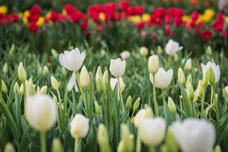 Tulipanowy festiwal obrazy royalty free