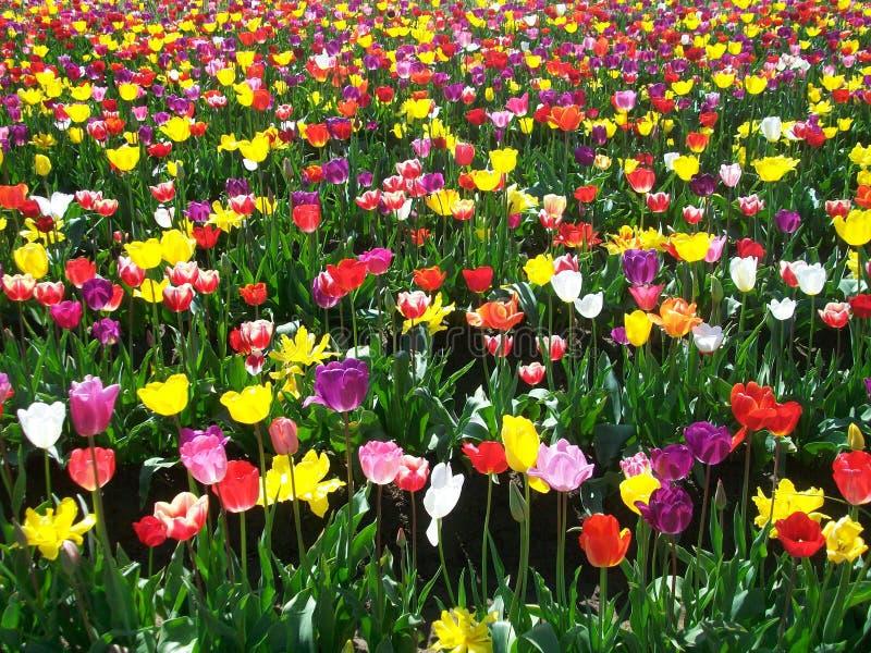 Tulipanowy festiwal, Oregon zdjęcie royalty free