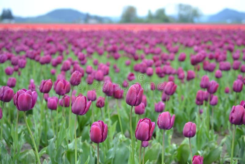 Tulipanowy festiwal w Mt Vernon, Waszyngton obraz stock