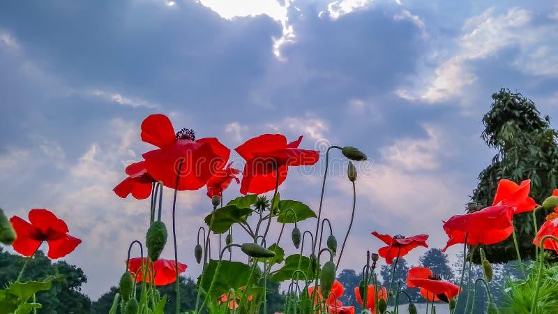 Tulipanowy i chmurniejący niebo obrazy stock