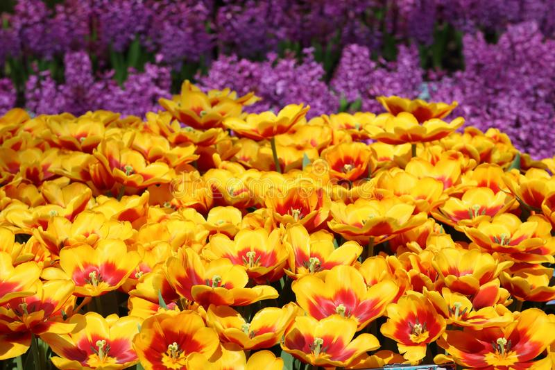Tulipanowy Kees Nelis 1 obrazy stock