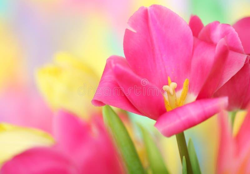 Tulipanowy kwiat obrazy stock