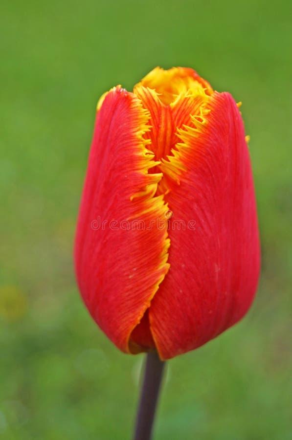 Tulipanowy kwiat z czerwonymi i żółtymi płatkami na zielonym tle zdjęcie stock