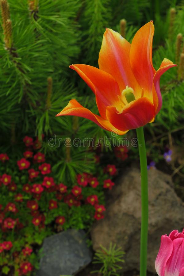 Tulipanowy kwiatu kwiecenie w świetle słonecznym na tło tulipanach kwitnie zdjęcie stock