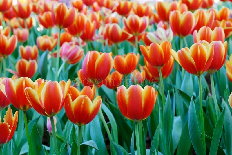 Tulipanowy kwiatu tło, Kolorowych tulipanów łąkowa natura w wiośnie, zakończenie up zdjęcia stock