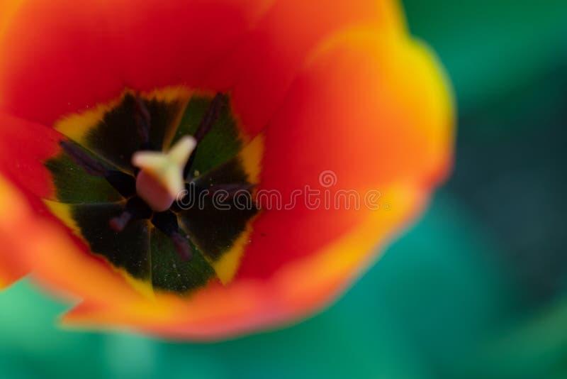 Tulipanowy makro- zako?czenie up strzela? obraz royalty free