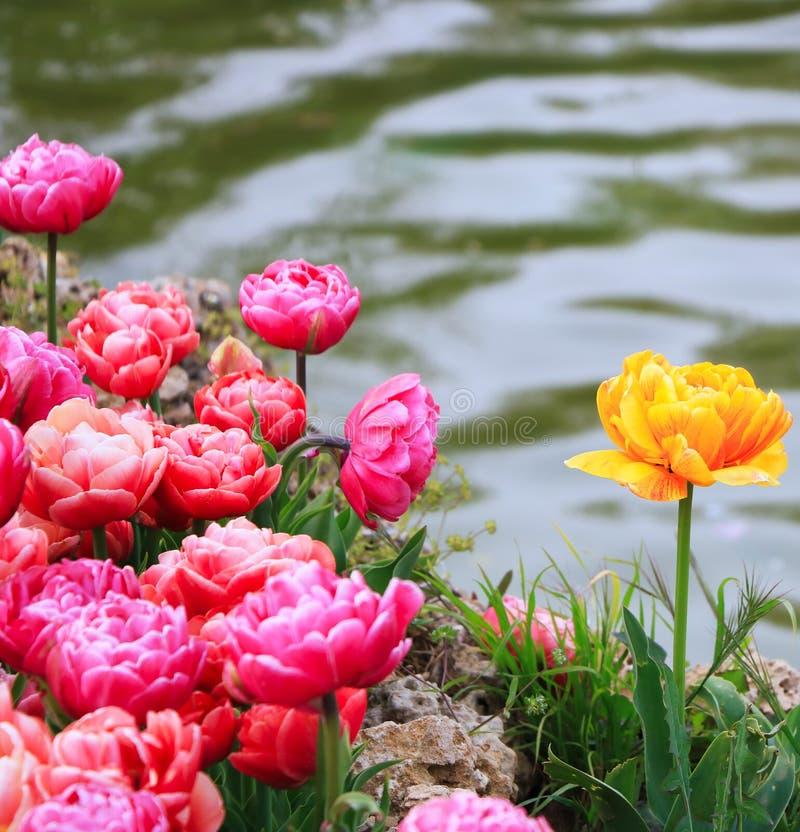 Tulipanowy sezon w Istanbuł zdjęcia royalty free