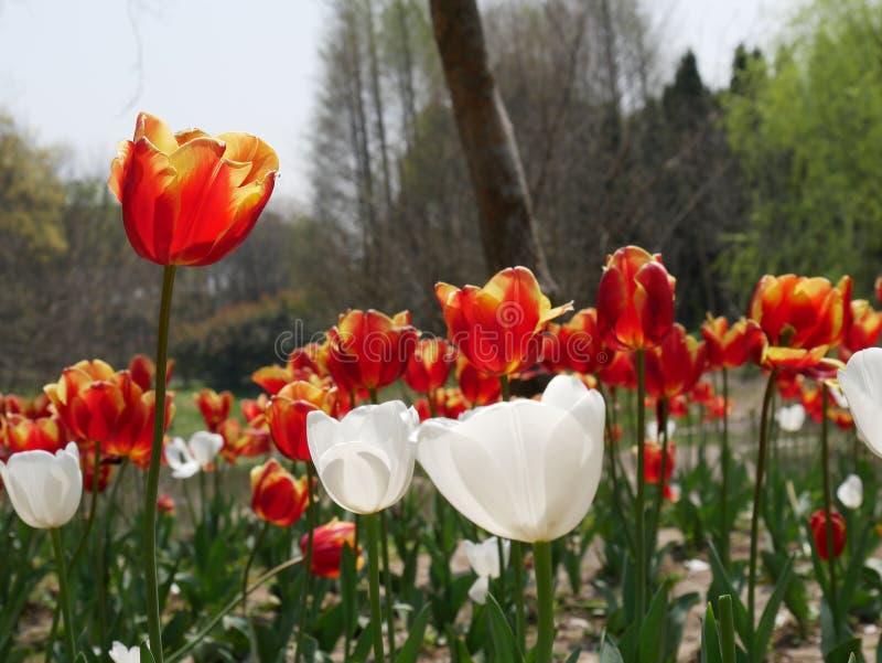 Tulipanowy trwanie wysoki wśród tłumu zdjęcia stock
