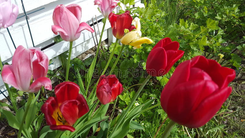 Tulipans photo libre de droits