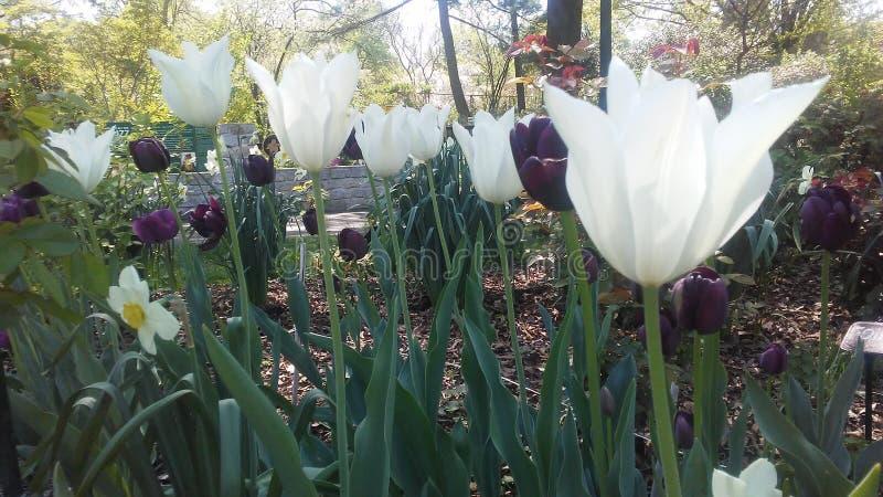 Tulipans brancos e roxos fotos de stock royalty free