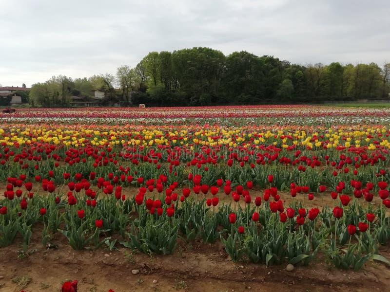 Tulipans foto de stock