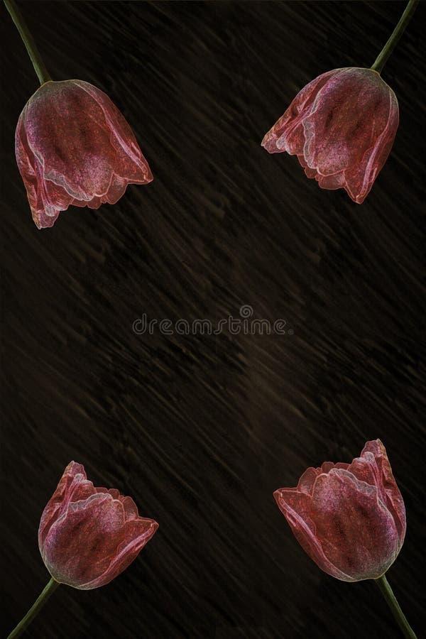 tulipans nella riflessione e nel fondo nero fotografie stock libere da diritti