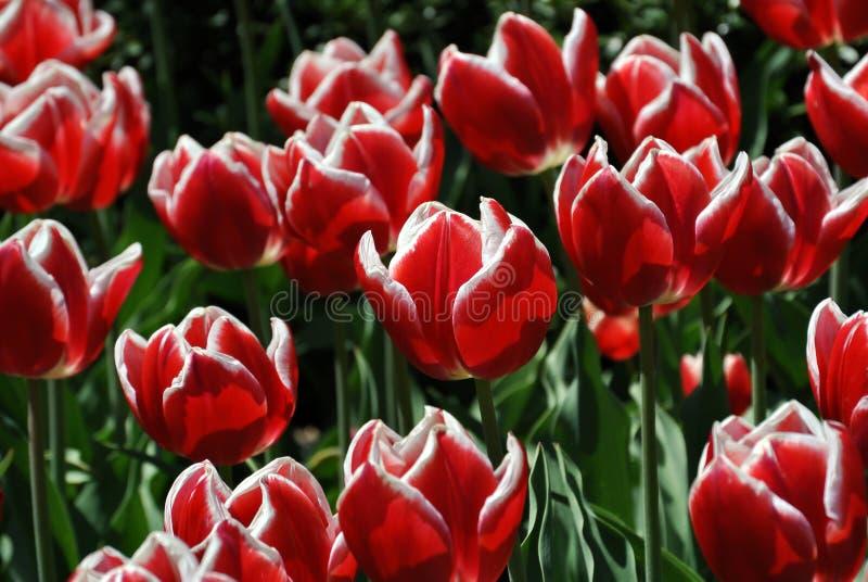 Tulipans vermelhos e brancos foto de stock
