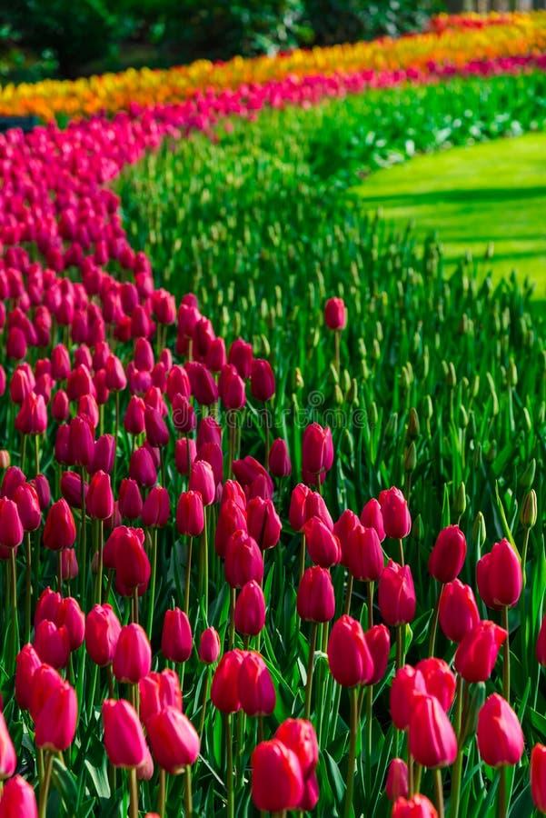 Tulipanu śródpolnego adnd starzy młyny w netherland obraz royalty free