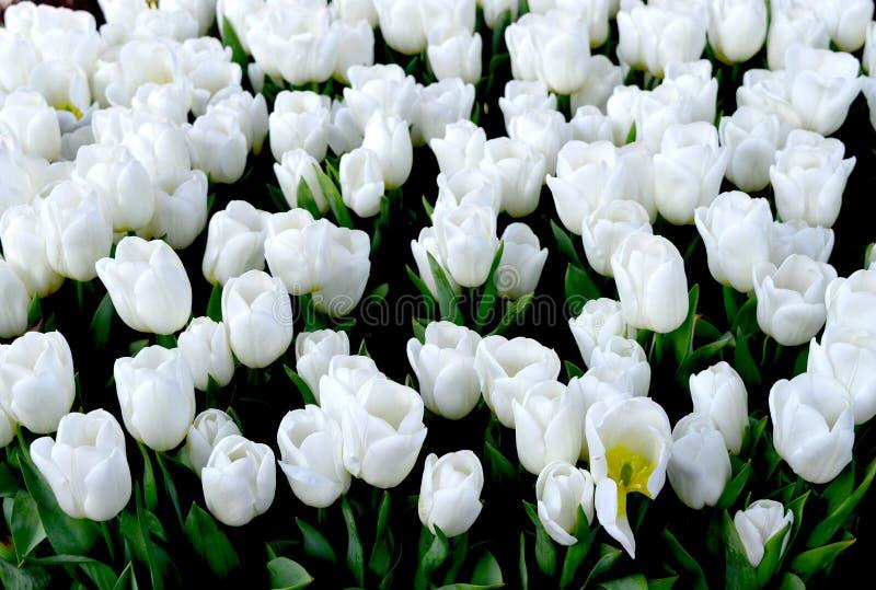 Tulipanu Alaska gwiazda zdjęcia stock