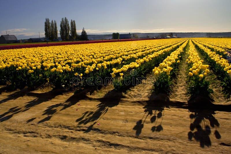 tulipanu cieni zdjęcie royalty free