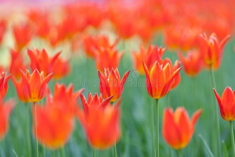 Tulipanu cultivar balerina obraz stock