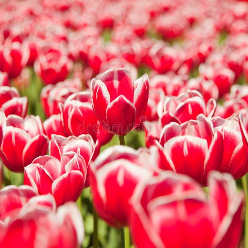 Tulipanu czerwony pole obrazy royalty free