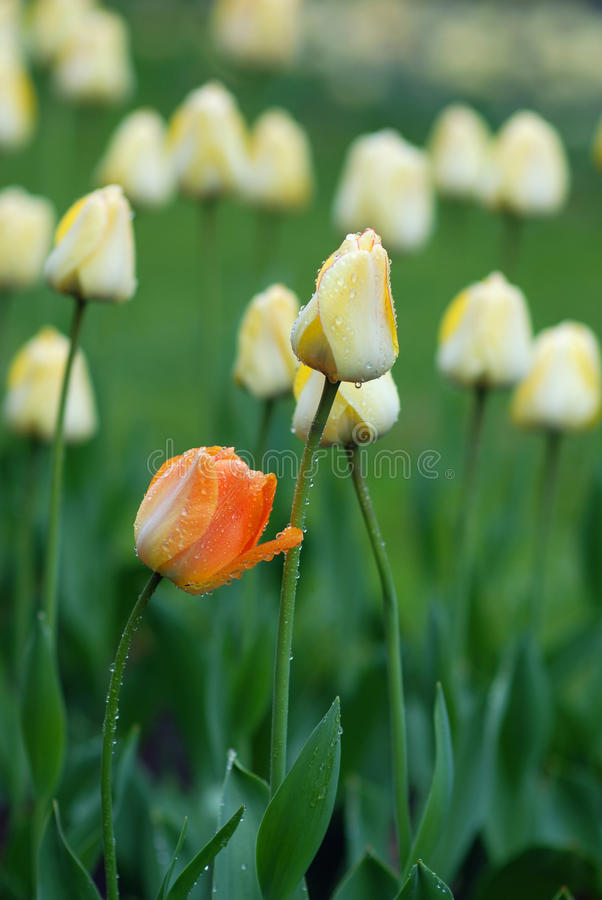 Download Tulipanu kolor żółty obraz stock. Obraz złożonej z piękno - 13325225