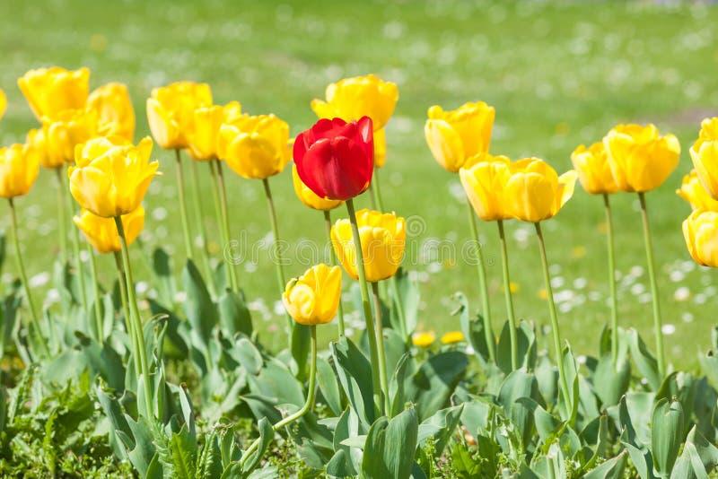 tulipanu ogrodowy kolor żółty zdjęcie royalty free