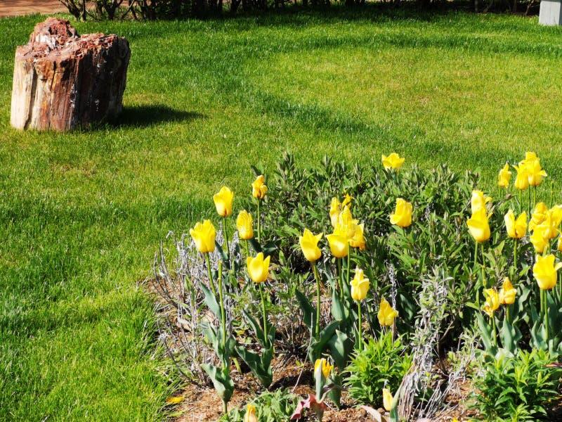 tulipanu ogrodowy kolor ? obrazy royalty free